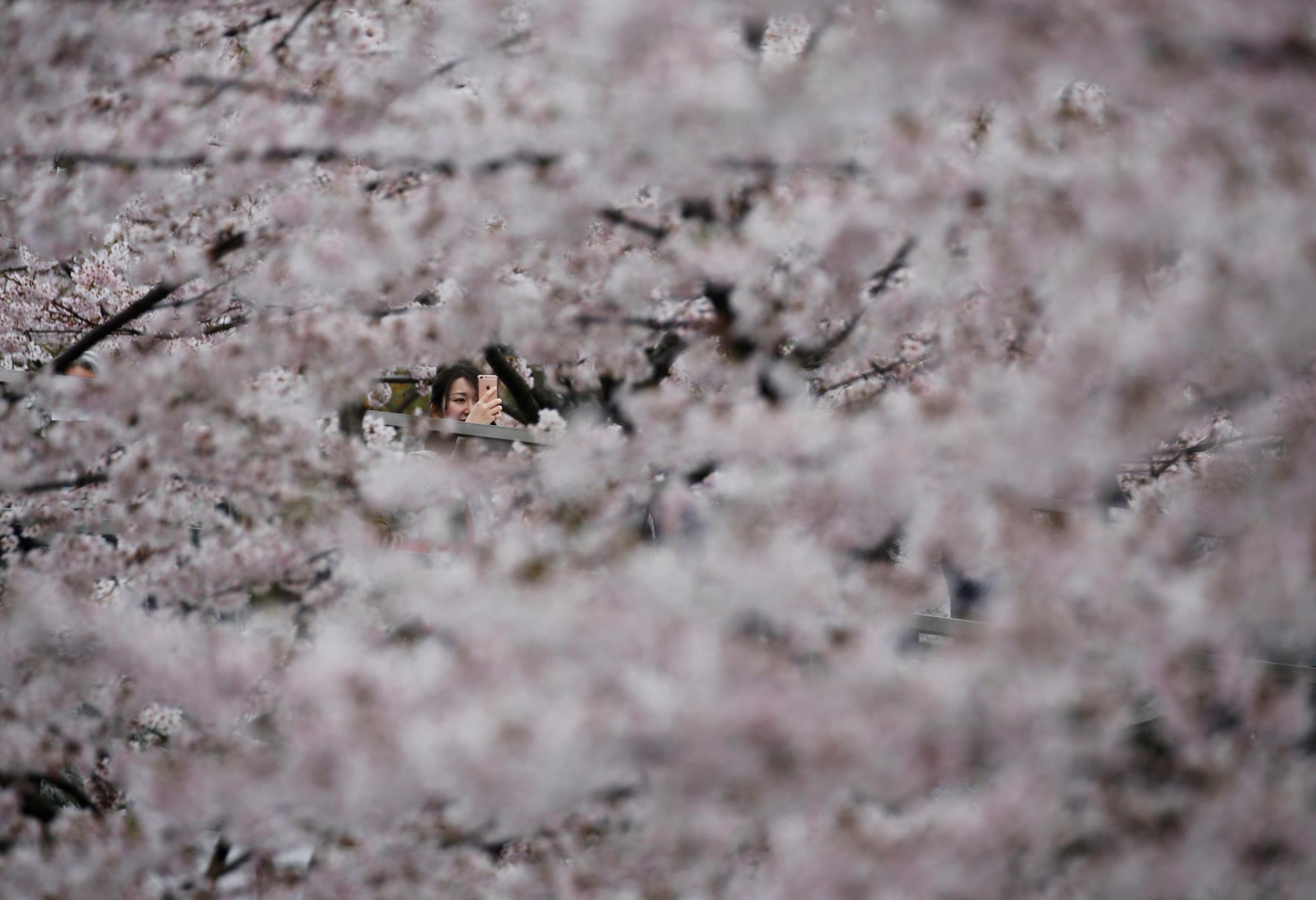 Uma mulher tira fotografias às flores de cerejeira em Tóquio