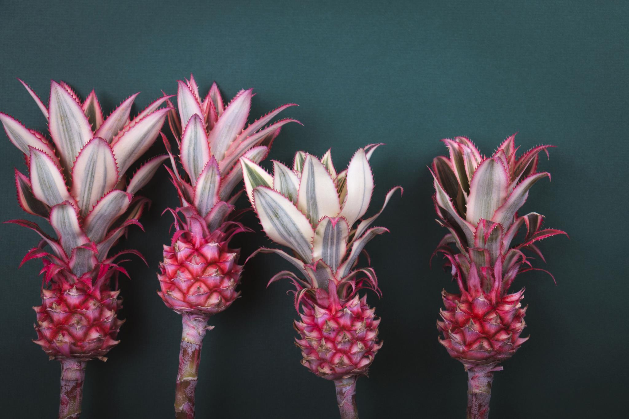 Apesar de ser geneticamente modificado, o abacaxi rosa é seguro, diz a FDA