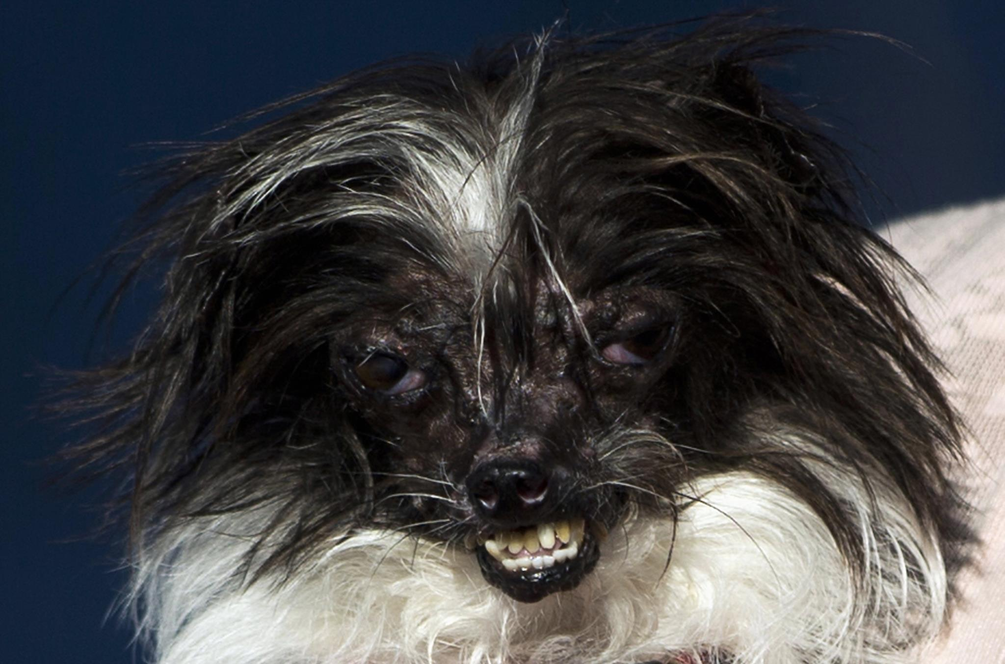 Em 2014, o vencedor do concurso de cão mais feio do mundo foi Peanut