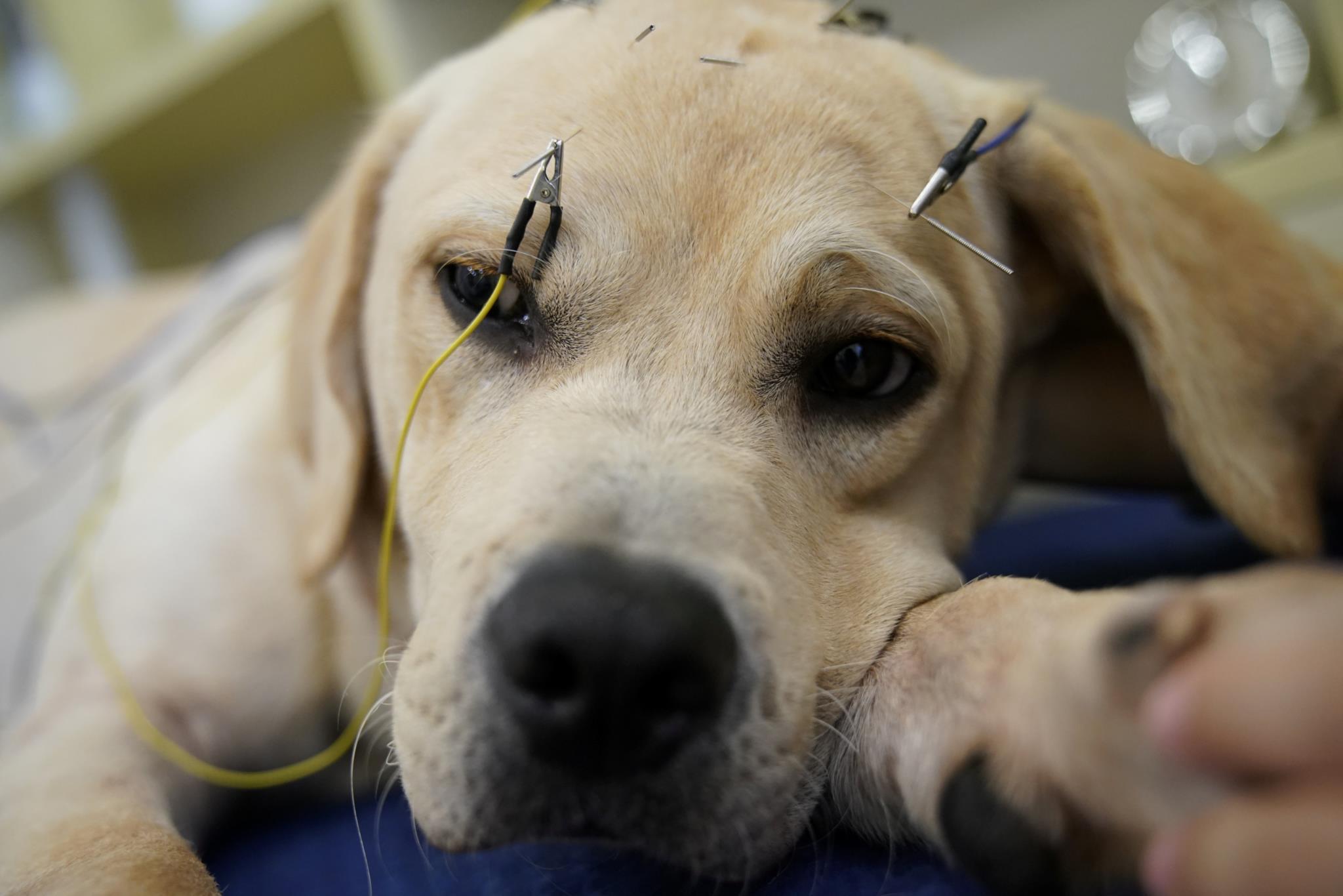 Acupuntura para cães numa clínica de Shanghai, China
