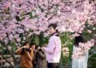 A explosão rosa das cerejeiras em flor
