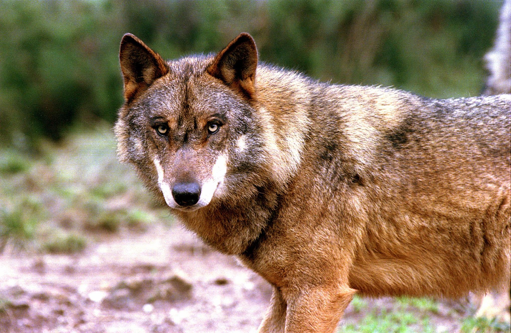 скинуть фотографию волка летнее время