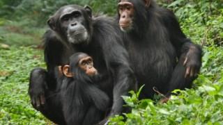 Chimpanzés no Parque Nacional de Kibale (Uganda)