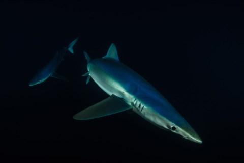 Tubarões Azuis Fotografados Ao Lusco Fusco Na Costa