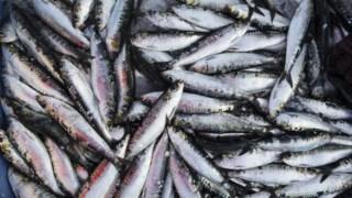 Sardinha, produtos de peixe