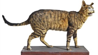 ,Gato savana