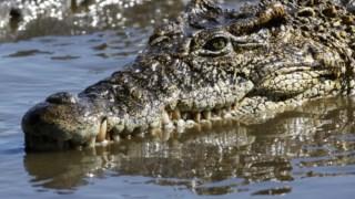 ,Crocodilo de Morelet