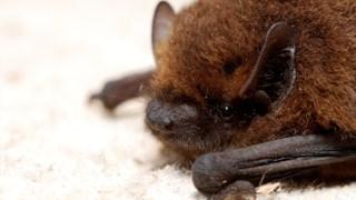 Pipistrelle comum
