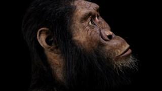 ,Gorila ocidental