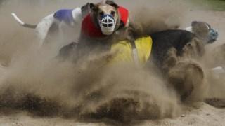 Uma corrida de galgos na Póvoa de Varzim