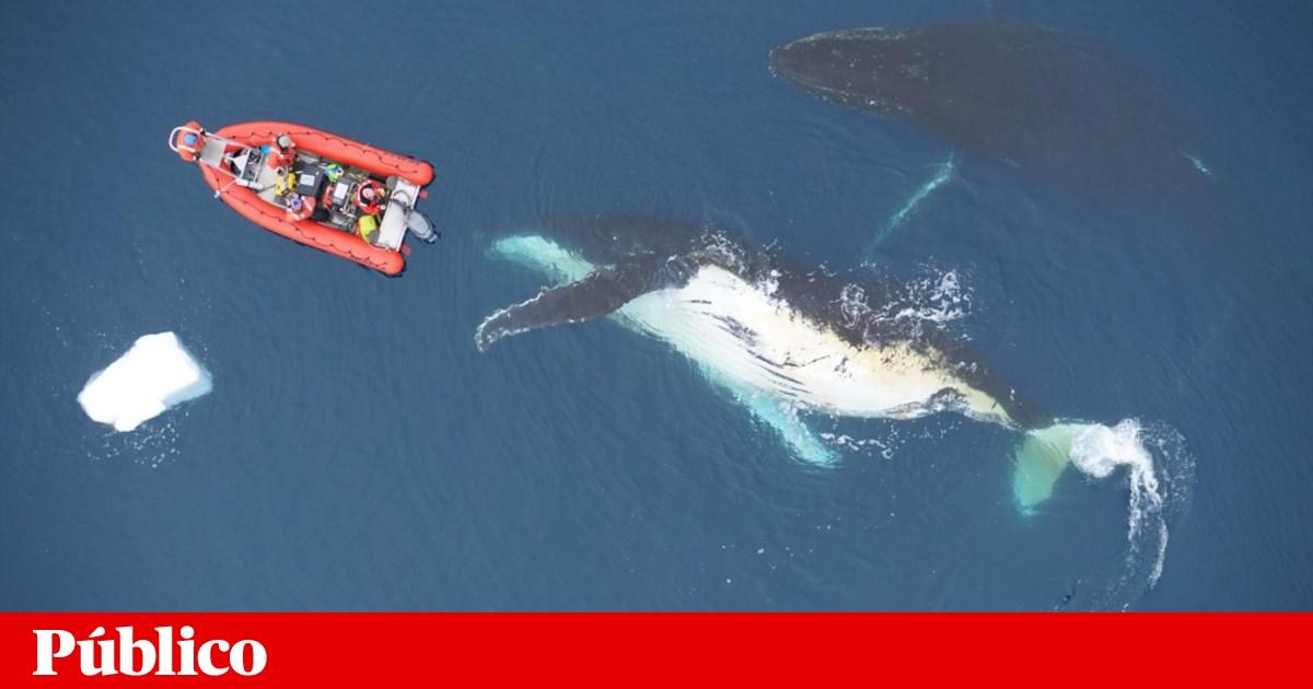 Por que é que umas baleias são maiores do que outras?