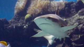 ,Tubarão cinzento