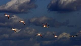 Os flamingos fazem parte das espécies que se podem observar no estuário do Tejo