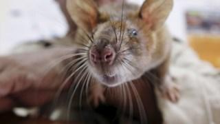 ,Rato