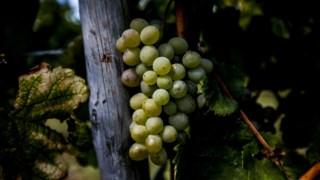 vinicultura,bairrada,serra-estrela,especial-vinhos,vinhos,fugas,