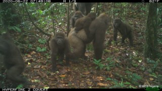 pglobal,p3,extincao,gorilas,nigeria,conservacao-natureza,