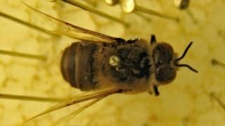Uma abelha da colecção da Universidade de Coimbra que foi analisada neste estudo