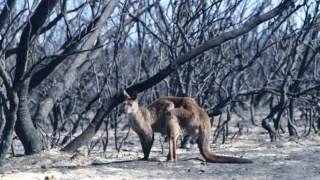 p3,animais,ambiente,australia,incendios-florestais,conservacao-natureza,