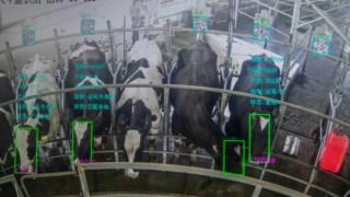 Vacas no local de ordenha e a serem acompanhadas em tempo real por câmaras de reconhecimento facial na China