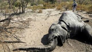 aquecimento-global,elefantes,animais,ambiente,botswana,africa,