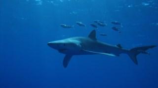 tubarao,pesca,oceano,ciencia,conservacao-natureza,alteracoes-climaticas,