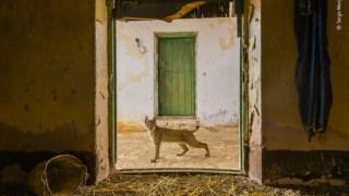 """""""Lynx on the threshold"""": uma imagem única de um lince-ibérico captada por Sergio Marijuán (Espanha), na Serra Morena (Vida Selvagem Urbana)"""