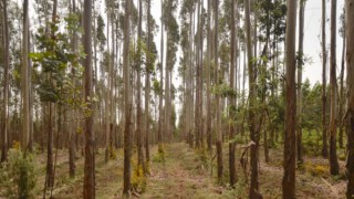 Em Portugal, a árvore mais comum em plantações certificadas é o eucalipto. As plantações são regularmente limpas para evitar a acumulação de vegetação seca das árvores e arbustos, que podem facilmente arder. Contudo, mesmo as plantações certificadas são maioritariamente geridas em monocultura, e apenas pequenas áreas são reservadas para conservação.