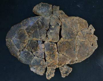 Escudo ventral do fóssil de tartaruga com 145 milhões de anos