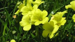 Flores da a <i>Oxalis pes-caprae</i>, conhecida por azeda ou trevo amarelo
