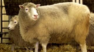 A técnica agora utilizada é a mesma que permitiu clonar a ovelha Dolly